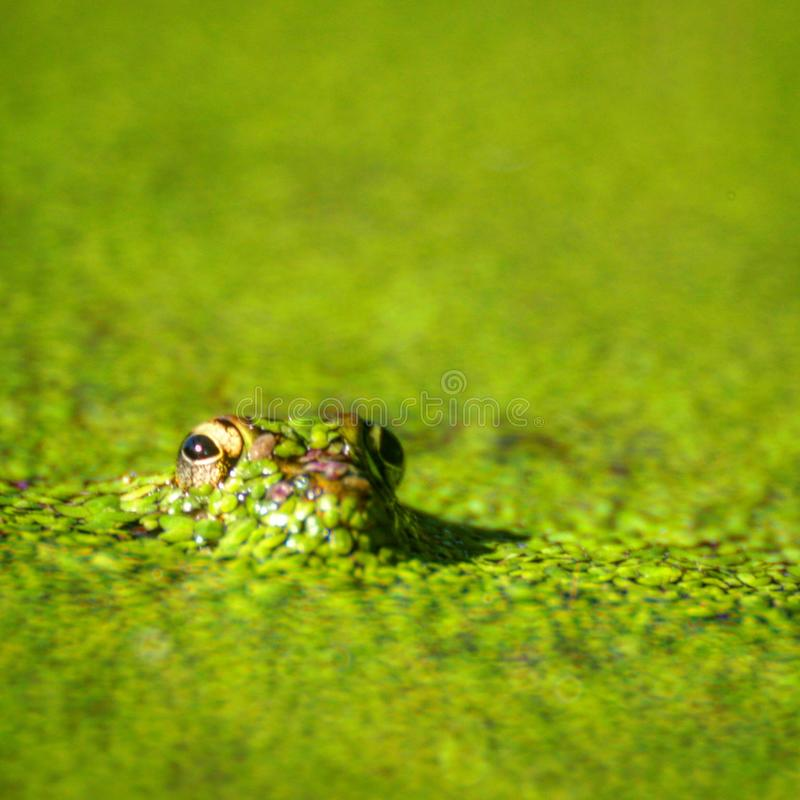 Leopard frog in a pond. A leopard frog is covered with duck weed as it pokes its head out of a pond in Holly Hill, Florida with only its eyes showing royalty free stock photos