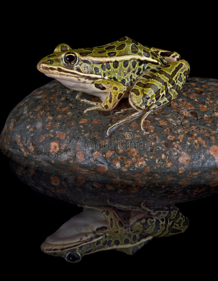 Leopard frog reflection. A leopard frog in sitting on a rock in the middle of a pond at night. The water shows his reflection stock image