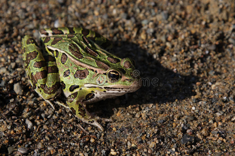 Leopard Frog Sitting royalty free stock images