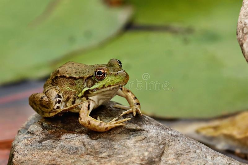 Southern leopard frog Lithobates sphenocephalus. Leopard frog sitting on a stone near pond with water lili royalty free stock images