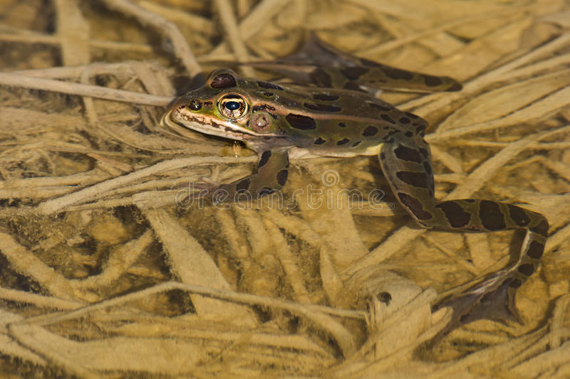 Northern Leopard Frog - Lithobates pipiens. Northern Leopard Frog sticking its head out of the shallow water. Minesing Wetlands Conservation Area, Minesing royalty free stock photos