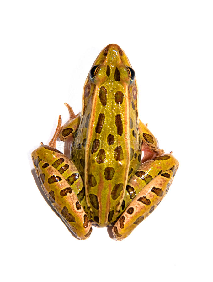 Leopard-Frosch lizenzfreie stockfotografie