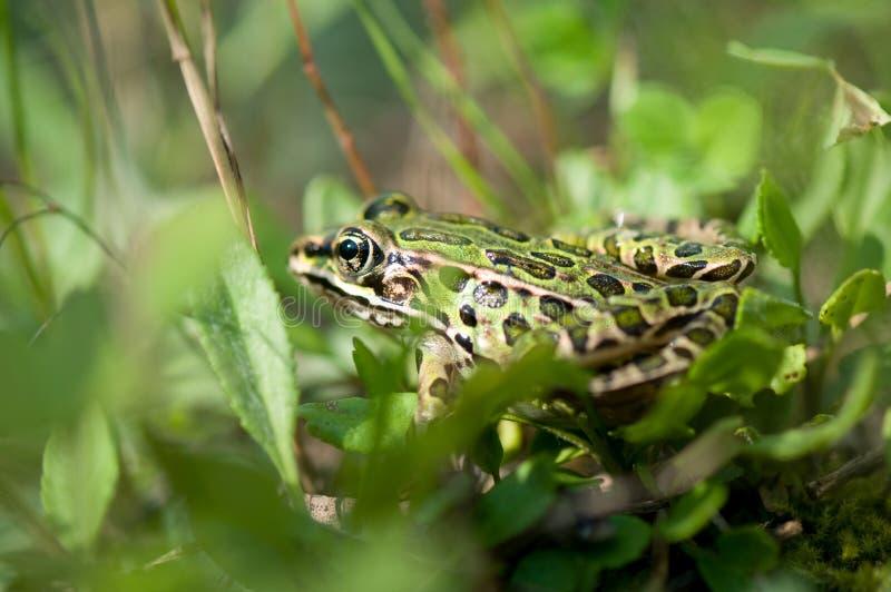 Leopard-Frosch im Gras stockfoto