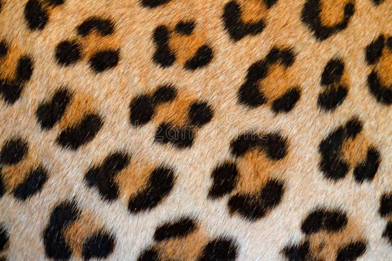 Leopard fur coat spotted detail, detail close-up portrait of wild cat, Etosha NP, Namibia in Africa. Wildlife scene from African stock photography