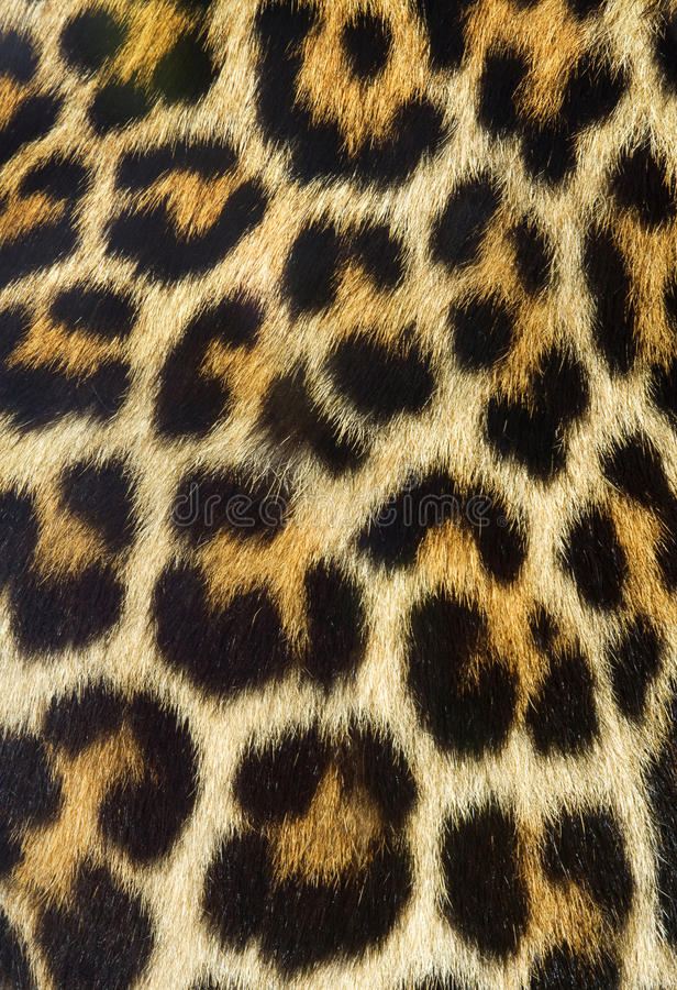 Leopard fur texture (real) stock photo
