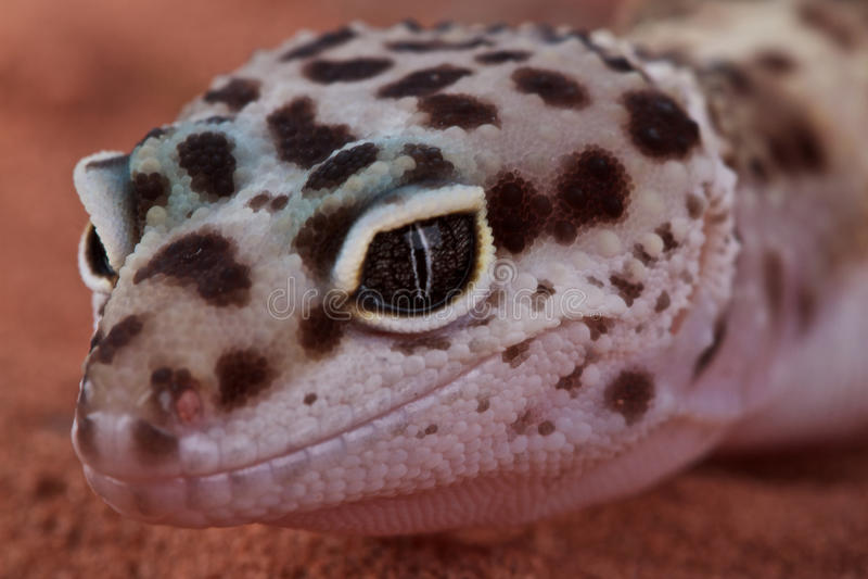 Leopard Gecko lizenzfreie stockbilder