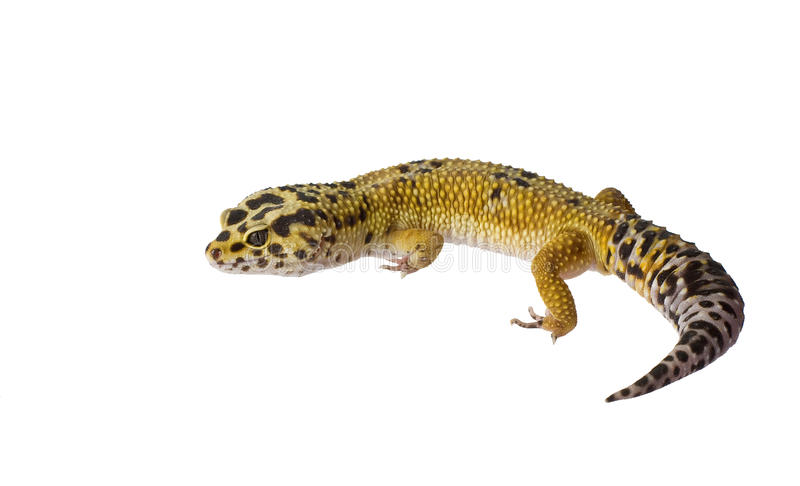 Leopard gecko. Isolated on white background stock images