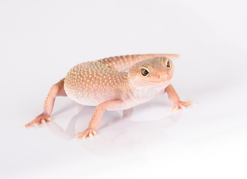 Download Leopard gecko stock photo. Image of background, looking - 22762664