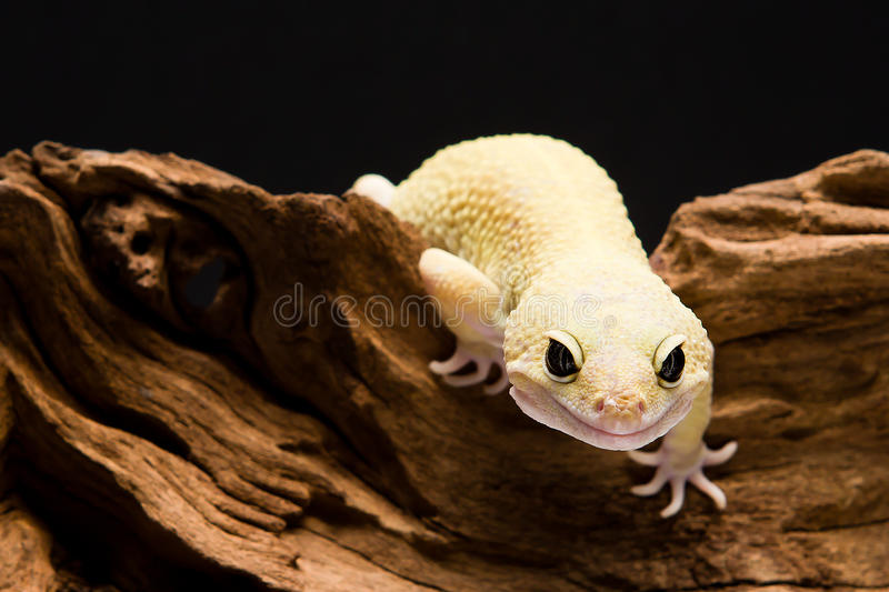 Download Leopard Gecko Stock Images - Image: 24478874