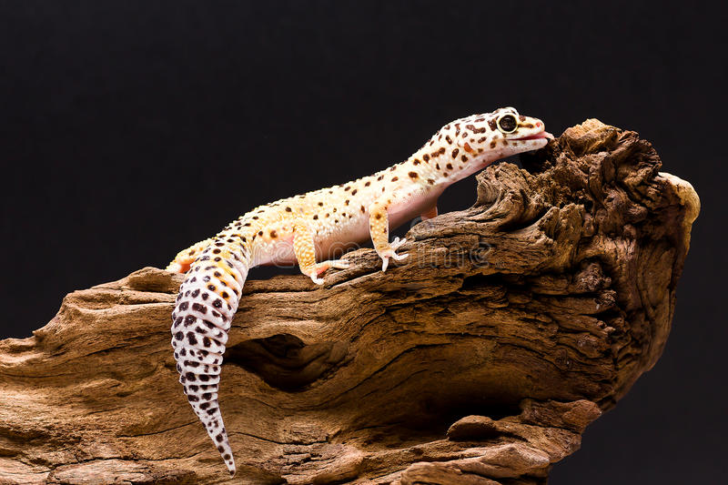 Leopard Gecko. Climbing on a wooden branch stock photos