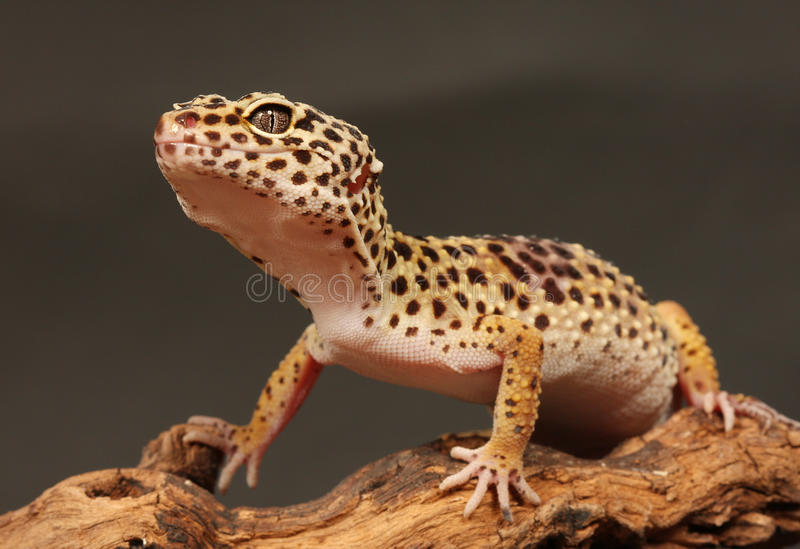 Leopard gecko. Sitting on a brunch stock photography