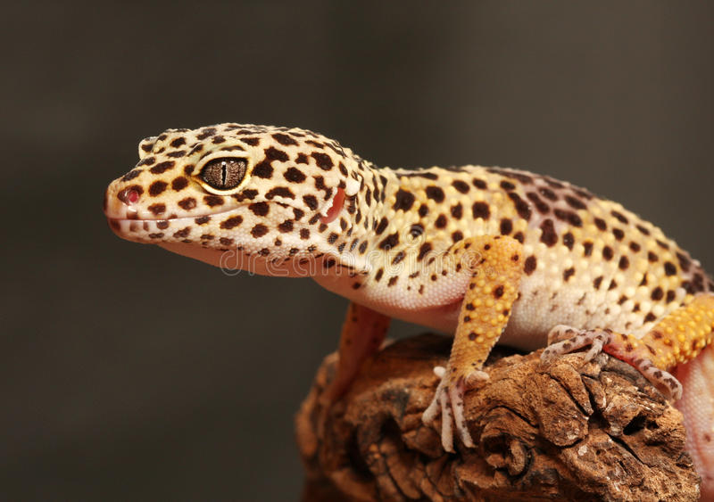 Download Leopard gecko stock image. Image of beauty, conservation - 24653779