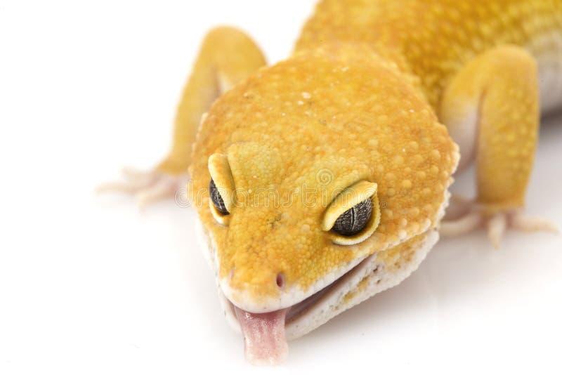 Leopard Gecko stock photos