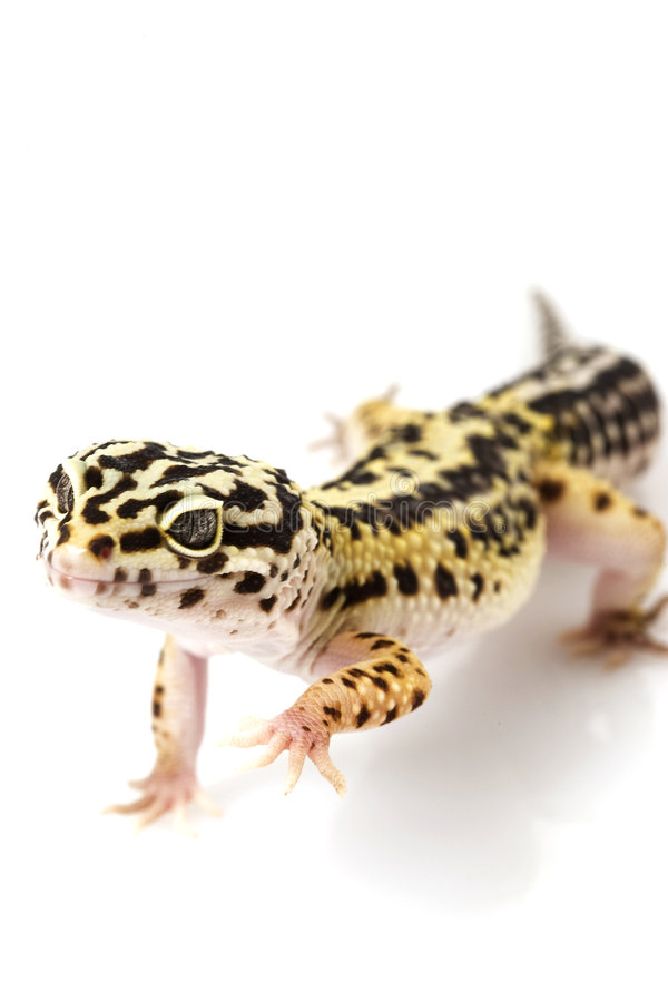 Hypo TUG Snow Leopard Gecko Stock Image - Image of stance