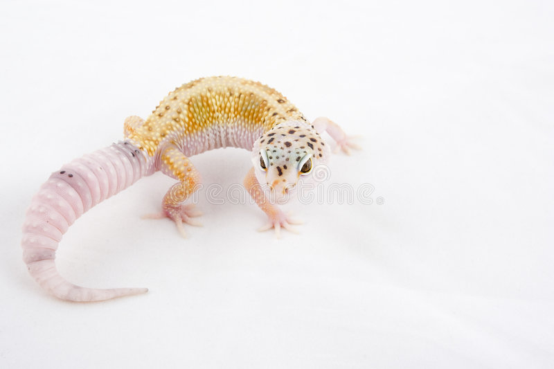 Group Of Young Leopard Gecko - Eublepharis Macular Stock