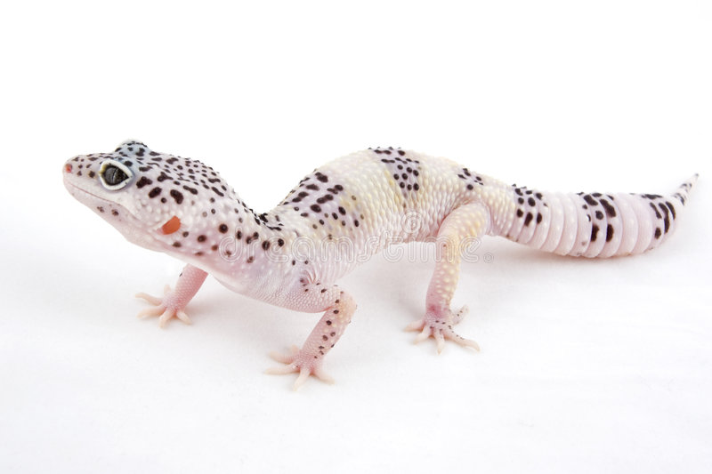 Download Leopard Gecko stock image. Image of markings, hybrid, reptile - 7205543