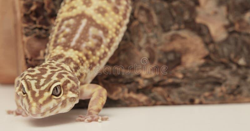 Leopard Gecko auf einem hölzernen Protokoll lizenzfreie stockfotos