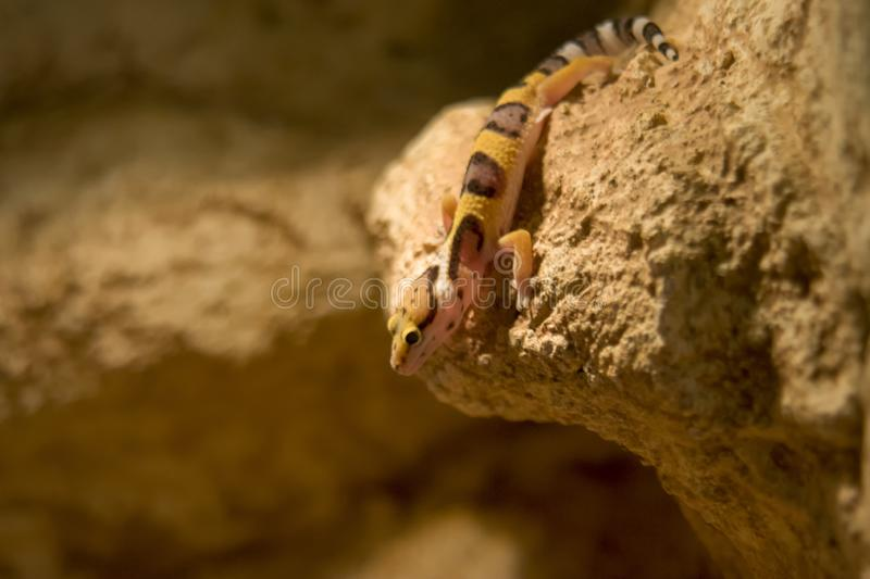 Leopard gecko close up, shallow dof royalty free stock image