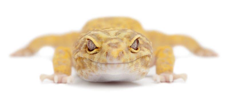 leopard gecko eublepharis aptor macularius στοκ εικόνες με δικαίωμα ελεύθερης χρήσης