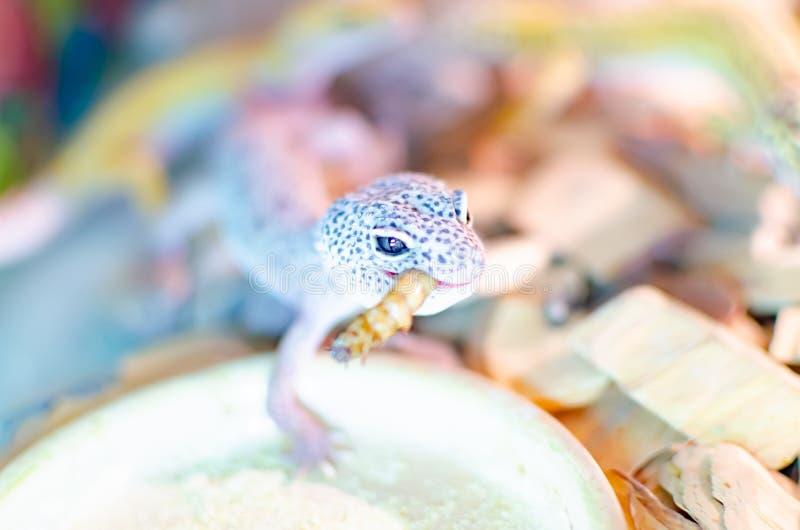 leopard gecko eublepharis macularius Ερπετά προσοχής και αναπαραγωγής στο σπίτι στοκ εικόνα με δικαίωμα ελεύθερης χρήσης