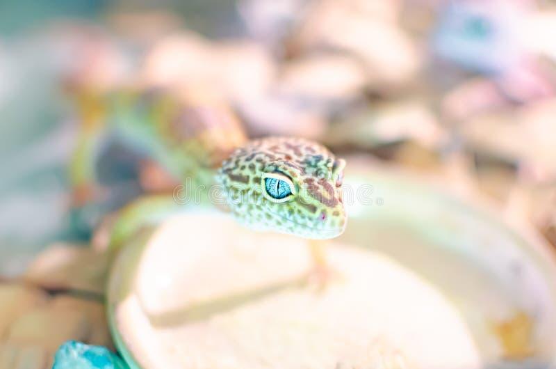 leopard gecko eublepharis macularius Ερπετά προσοχής και αναπαραγωγής στο σπίτι στοκ εικόνες με δικαίωμα ελεύθερης χρήσης