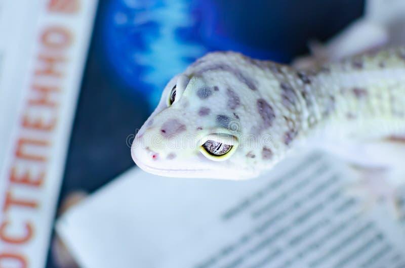 leopard gecko eublepharis macularius Ερπετά προσοχής και αναπαραγωγής στο σπίτι στοκ φωτογραφία