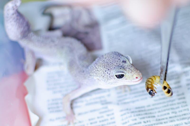 leopard gecko eublepharis macularius Ερπετά προσοχής και αναπαραγωγής στο σπίτι στοκ εικόνες