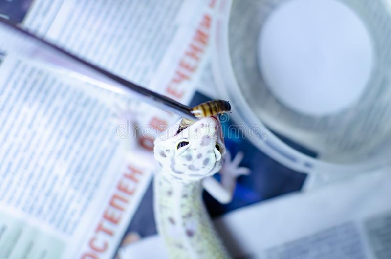 leopard gecko eublepharis macularius Ερπετά προσοχής και αναπαραγωγής στο σπίτι στοκ φωτογραφίες με δικαίωμα ελεύθερης χρήσης