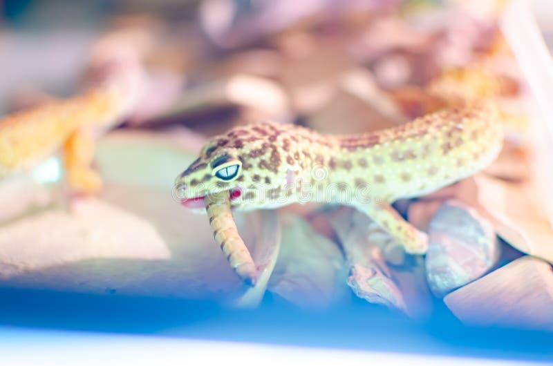 leopard gecko eublepharis macularius Ερπετά προσοχής και αναπαραγωγής στο σπίτι στοκ φωτογραφία με δικαίωμα ελεύθερης χρήσης