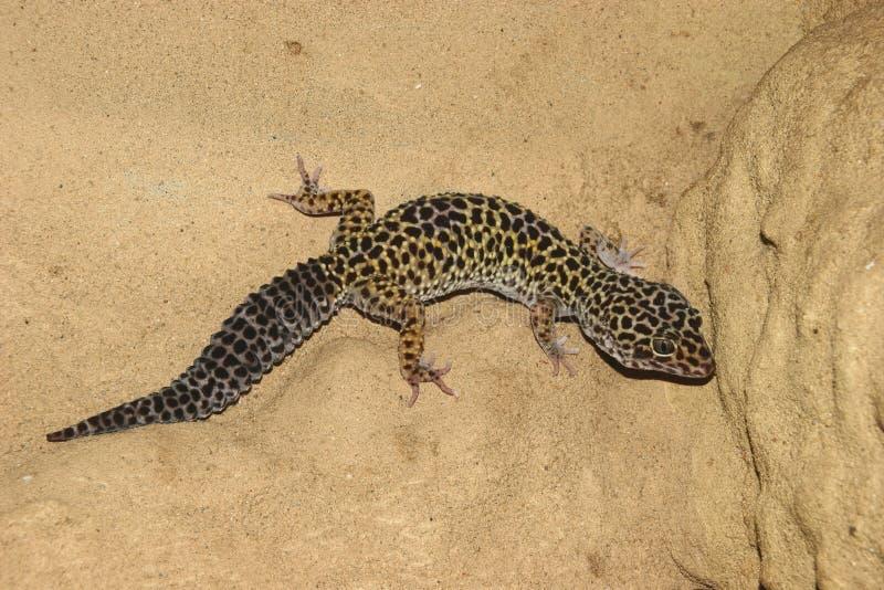 leopard gecko eublepharis macularius στοκ εικόνες