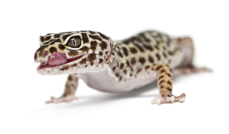 Brown And White Spotted Leopard Gecko Stock Image - Image of