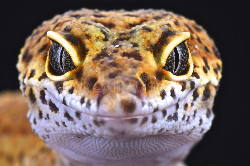 Leopard gecko (Eublepharis macularius). One of the most popular pet lizard species in the world, the leopard gecko. These wonderful reptiles are being bred in a stock photography