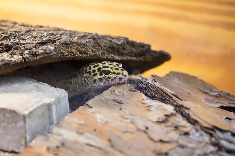 Leopard Gecko. Hiding between tree bark and rocks royalty free stock photo