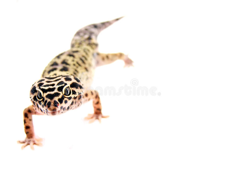 Leopard gecko. Isolated leopard gecko on white background royalty free stock photo
