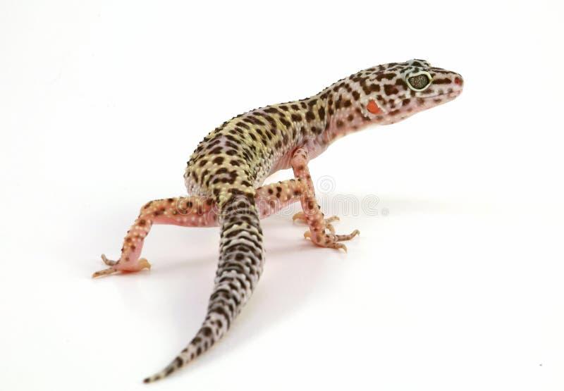 Leopard gecko lizard stock images