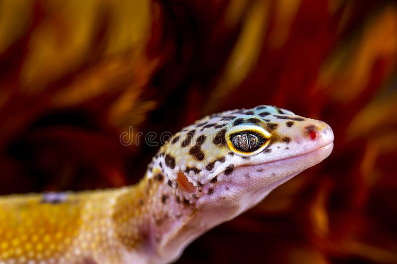 Leopard Gecko in Macro. This Gecko has the Latin name Eublepharis macularius. This gecko is a type of gecko that is active at the surface at night. Gecko is stock image