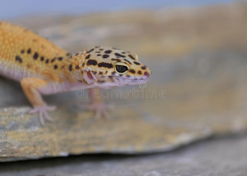 Common leopard gecko on rock royalty free stock photos