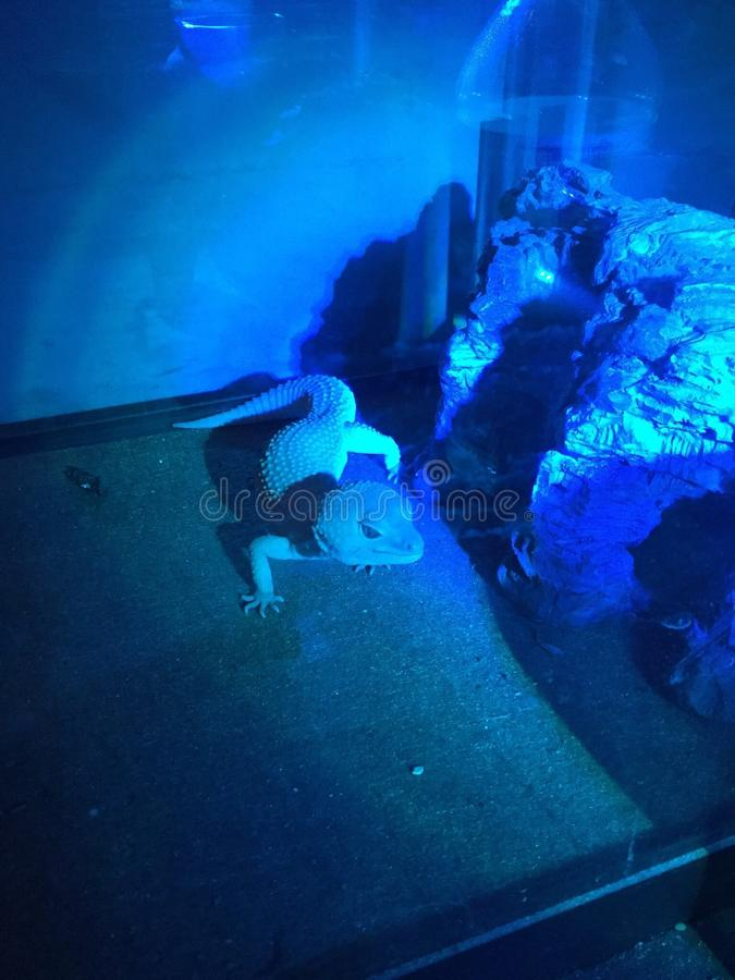 Leopard gecko in night light stock images
