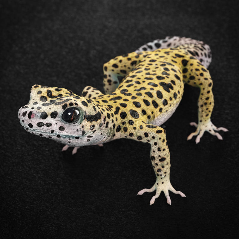 Leopard gecko. Very high resolution 3d rendering of a leopard gecko stock illustration