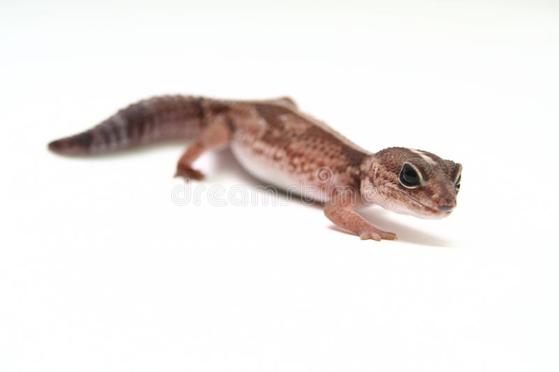 Download Leopard Gecko On White Stock Photo - Image: 42180991
