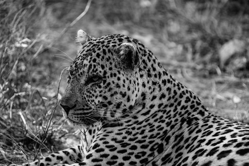 Leopard. Giant male leopard sleeping under a tree after eating his weight in the bush of South Africa royalty free stock photo