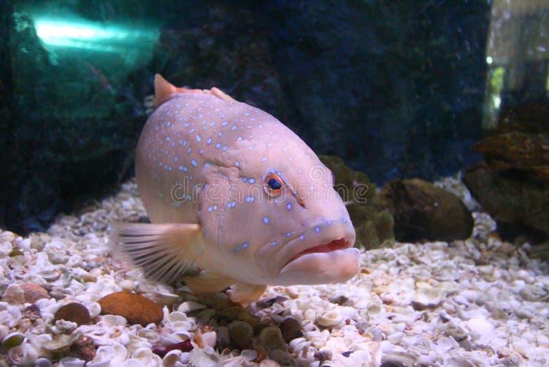 Leopard grouper Marine fish blue spots royalty free stock photography