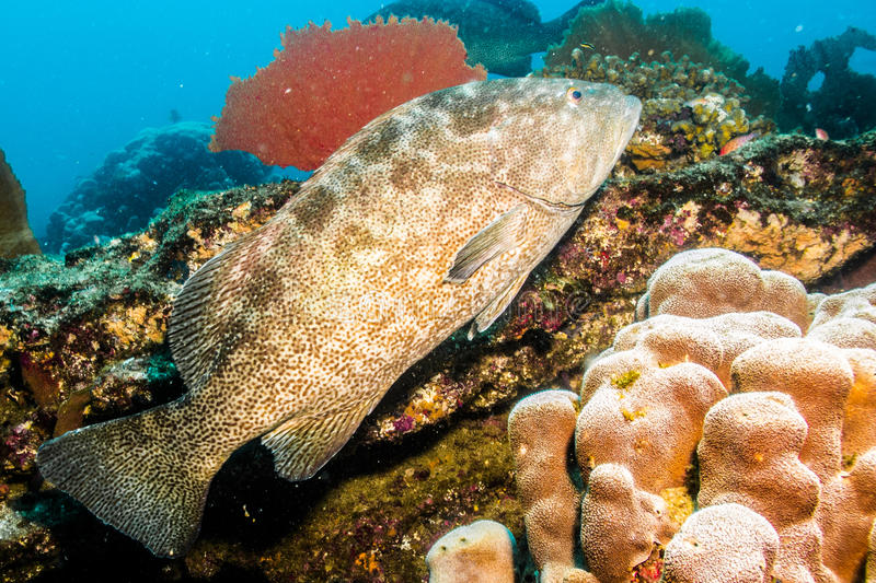 Leopard grouper (Mycteroperca rosacea). In the reefs of Cabo Pulmo national park, world heritage site. Baja California Sur, Mexico royalty free stock photos