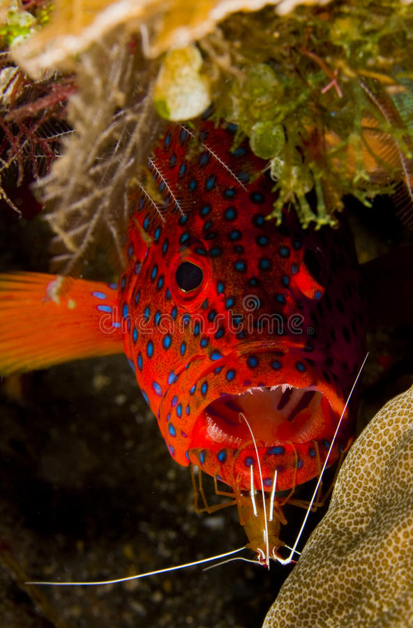 Free Leopard Grouper With Cleaner Shrimp Stock Photos - 18477493