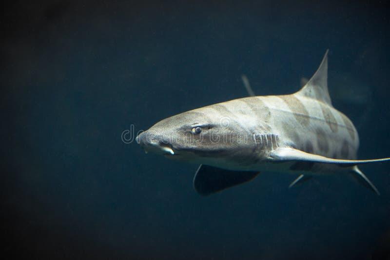 Leopard-Haifisch stockbild