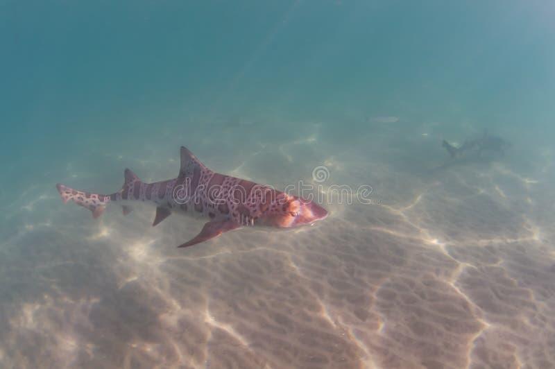 Leopard-Haifisch stockfotos