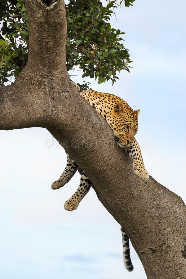 Leopard hanging from tree royalty free stock image