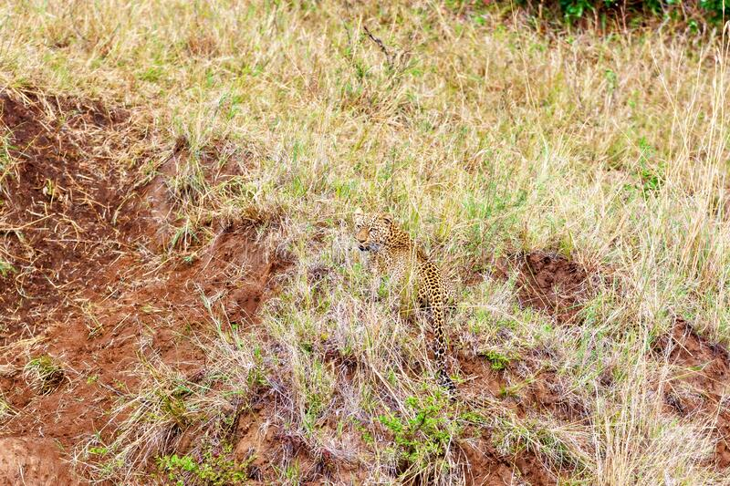 Leopard hid in tall grass, wildlife concept. Kenya National Park. Wild leopard hid in tall grass getting ready for wildebeest hunting. Kenya National Park royalty free stock images