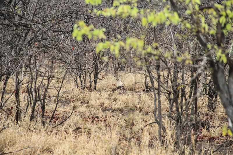 Leopard hiding in the bush, Kruger National Park, South Africa. Leopard hiding in the bush, as seen in Kruger National Park, South Africa royalty free stock photo