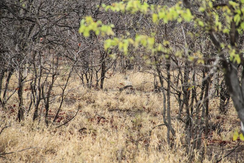 Leopard hiding in the bush, Kruger National Park, South Africa. Leopard hiding in the bush, as seen in Kruger National Park, South Africa royalty free stock photos
